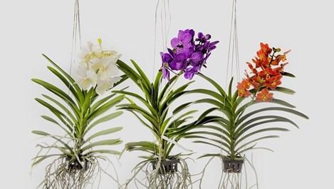 Ванда - как се гледа орхидеята кралица