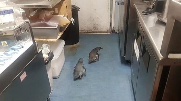 Пингвини се настаниха в ресторант за бургери - месец след като посетиха суши бар