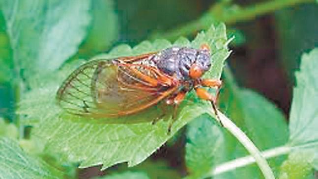 Цикадите пренасят вирусни болести