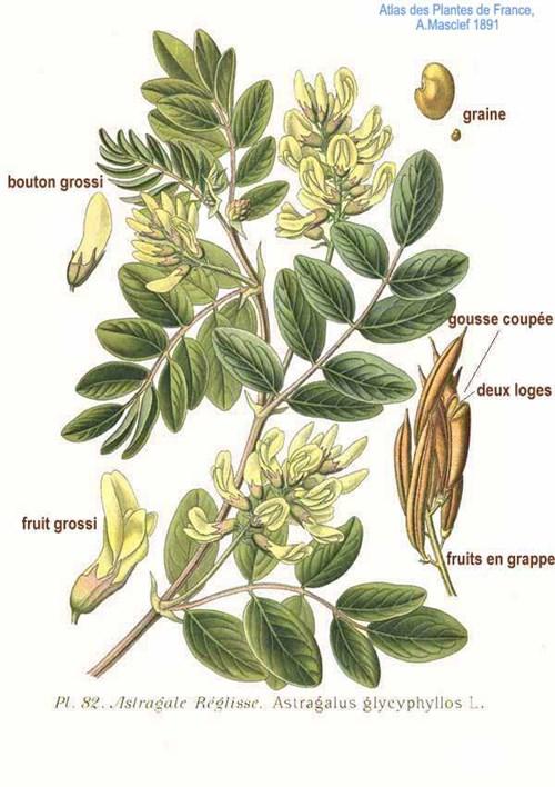 Растение, стимулиращо имунитета - Астрагал, Орлови нокти, Клинавиче