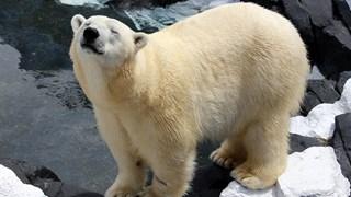 Бяла мечка умря от разбито сърце