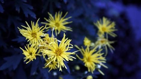 Изберете хризантеми за Димитровден