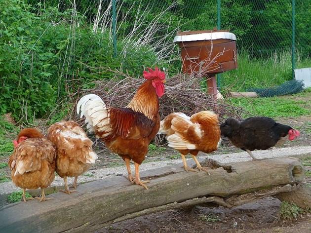 Петелът трябва да се държи като най-главния не само в своя кокошарник, но и в целия двор и да не се страхува да го докаже