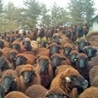 Прецакват овчарите с агнешкото за Великден