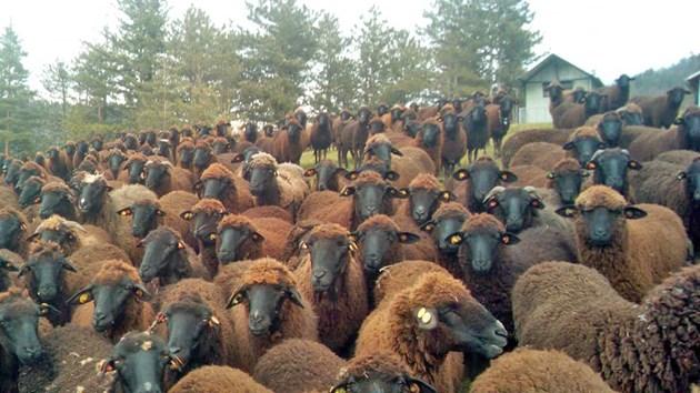 Стадото на родопския животновъд / Снимки: Личен архив