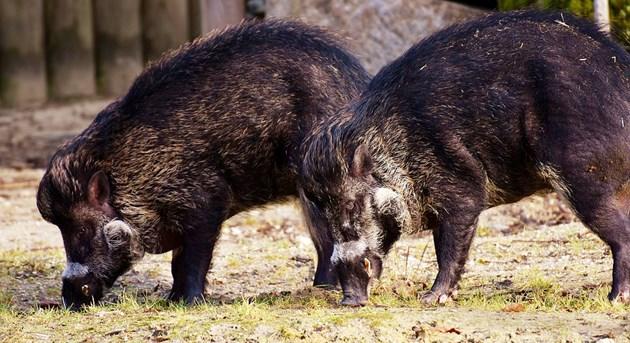 Паника заради свински трупове
