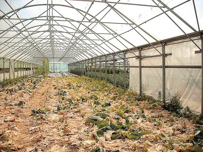 След прибиране на растителната продукция е препоръчително оранжерията да се почисти и обеззарази