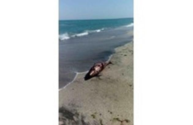Рекорден брой мъртви делфини по френското крайбрежие
