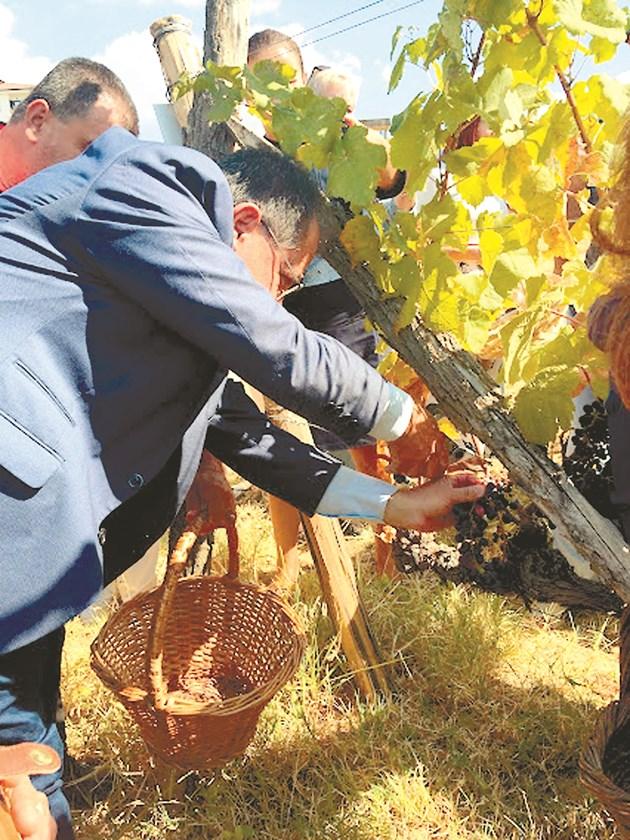 Официалните гости браха в кошници грозде Мелник 55, сорт на основата на Широка мелнишка, създаден в бившата опитна станция по лозя и тютюн в Сандански