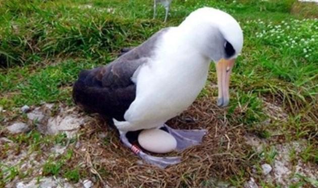 Най-старата птица в света отново си измъти пиленце