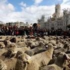 2 000 овце минаха през Мадрид (Снимки)
