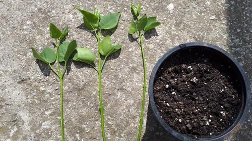Как се размножава люляк от зелени резници