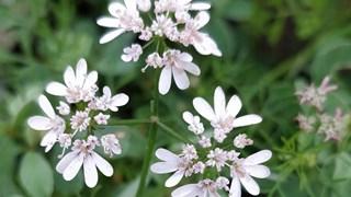 Сминдухът – ароматната подправка на здравето (+рецепта)