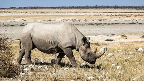 За носорозите фекалиите им са онова, което е Facebook за хората