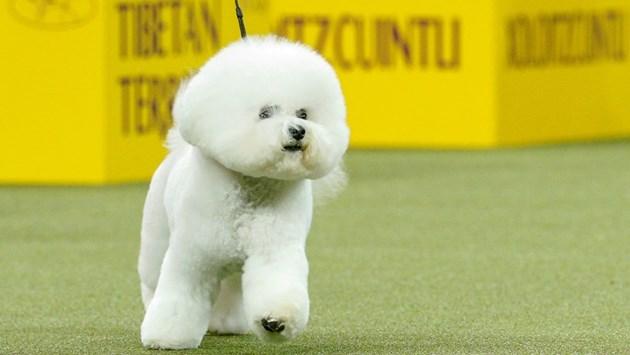 Започва най-престижното изложение на кучета в САЩ (Снимки)