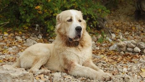 Кучето алабай - най-добрият пазач на животни