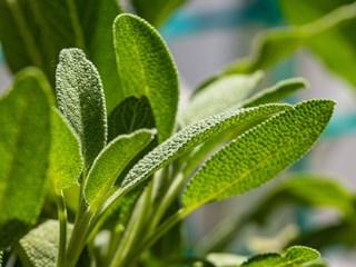 Какво лекува градинският чай