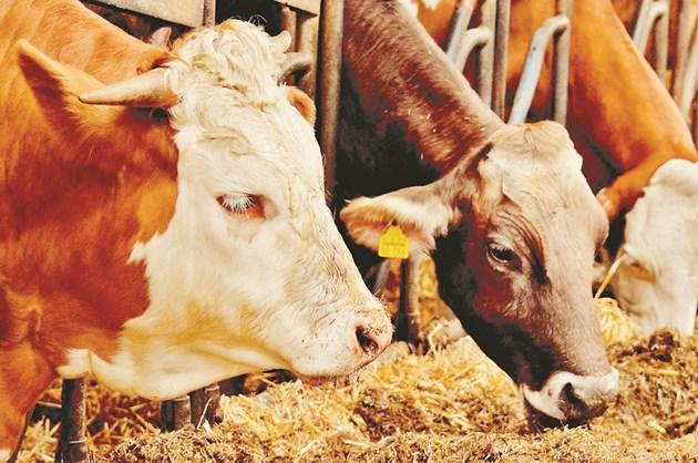 Ако със сламата не се изхранва правилно, може да създаде проблеми както на животните, така и на фермера.