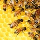 Пчелите спасяват човечеството