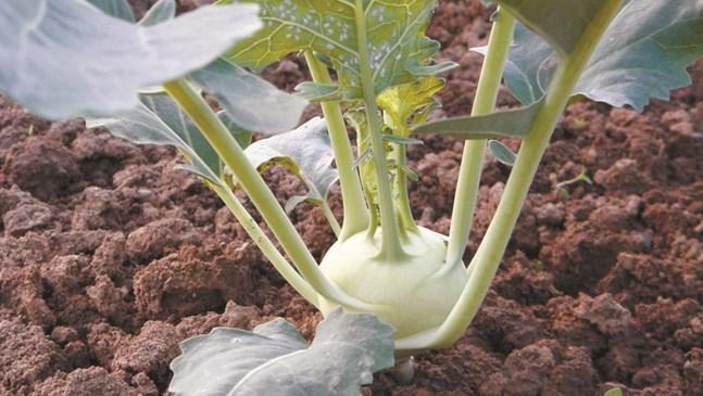 Алабашът – полезната храна
