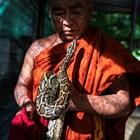 Монах от Мианмар предлага храмово светилище за заплашени змии (Фотогалерия)