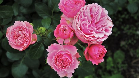 5 грешки при отглеждането на рози