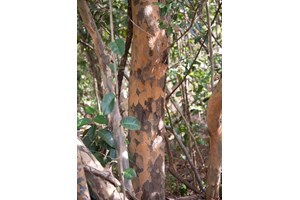 Змийско дърво