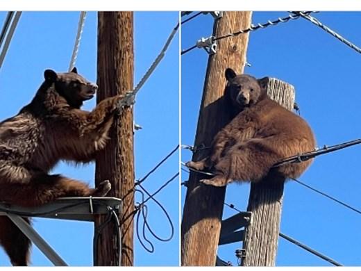 """Мечка се измъкна невредима от опасна """"среща"""" с електрически стълб"""