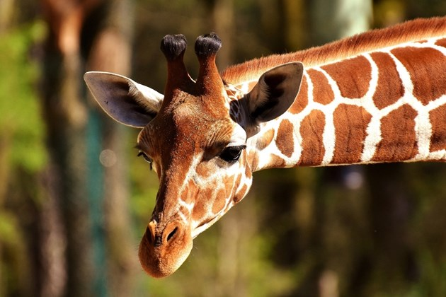 Жираф падна върху джип с туристи, мъж е в тежко състояние (Снимки)