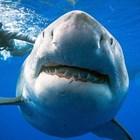 Вижте най-голямата акула в света (Снимки)