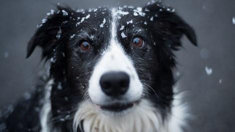 Това са най-умните породи кучета в света