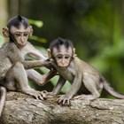 Маймуни свиха кръвни проби за COVID-19 в Индия (Видео)