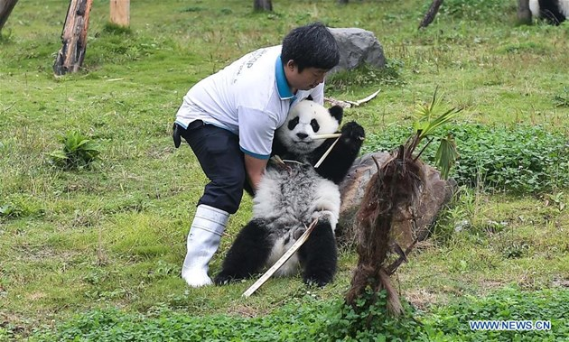 Броят на пандите, отгледани в плен, достигна 548