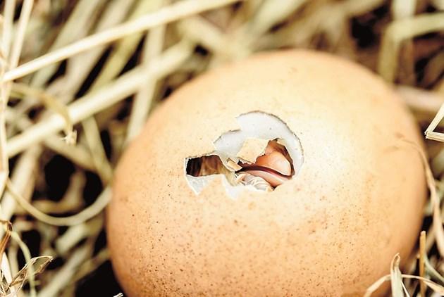 С увеличаване продължителността на деня започва снасянето на пуйките и продължава до юли-август. Някои стопани използват мътачки, други - малки инкубатори.