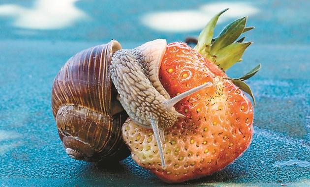 """В природата охлювите са """"чистачи"""" и се хранят предимно с мъртва растителност. Когато такава няма, хапват каквото има. източник: blende12"""