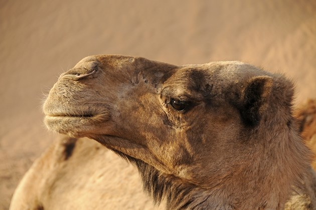 Учени от ОАЕ имунизират камили срещу коронавируса