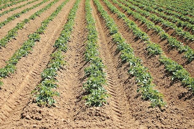 Окопните култури задържат по-слабо почвата
