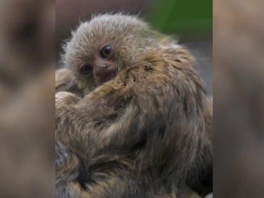 Близнаци от най-малките маймуни в света се родиха в Chester Zoo (видео)