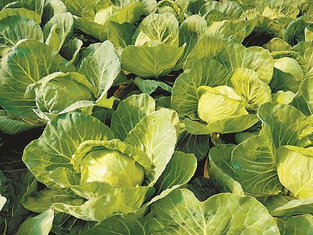 Ранното зеле става все по-привлекателна култура сред зеленчукопроизводителите