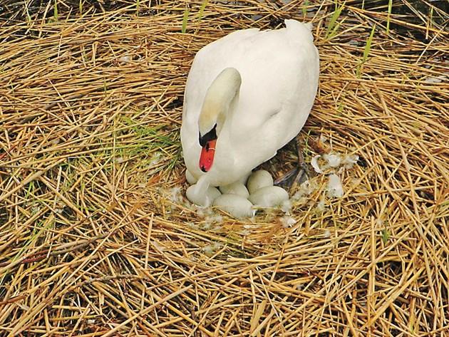 Яйценосността на гъските не е голяма и затова за мътене се слагат всичките снесени яйца