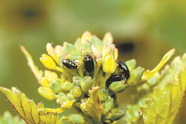 Рапичният цветояд е сред най-опасните неприятели по културата