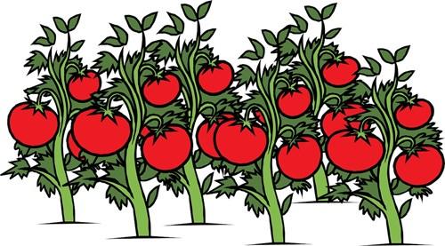 Последни резитби и за ... доматите