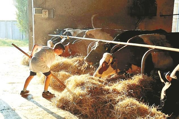 Сеното, което се дава на кравите, трябва да не съдържа нитрати и нитрити