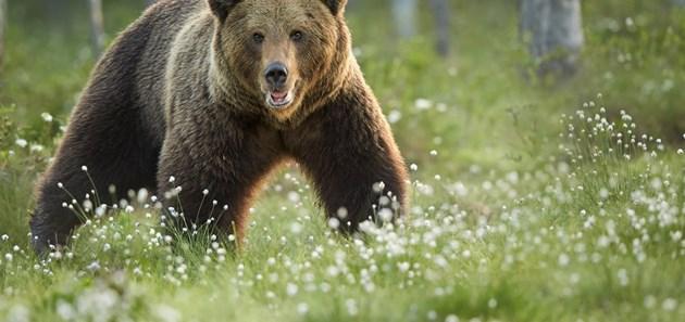 Попадате на разярена мечка. Какво ще направите?