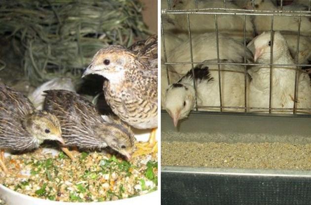 Дажбата през първите дни е основно от комбинирани смески за малки пилета, като постепенно се преминава към такива за по-големи. Когато нямате комбинирани смески, първите два дни хранете пилетата с твърдо сварени и стрити яйца с черупките; пшеничена или овесена каша, която е 1/3 от масата на яйцата и мляко.