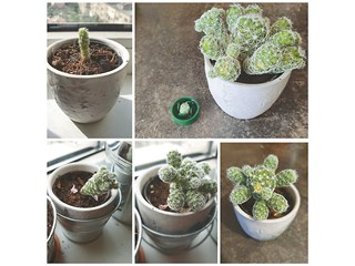 Развитието на един кактус