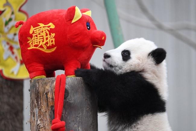 Панда се радва на прасенце в китайски зоопарк. СНИМКИ: РОЙТЕРС