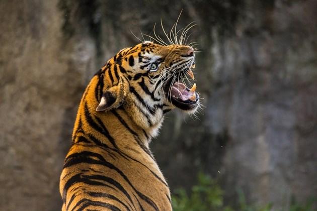 Тигър нападна 2-годишно в Тайланд, детето е в болница