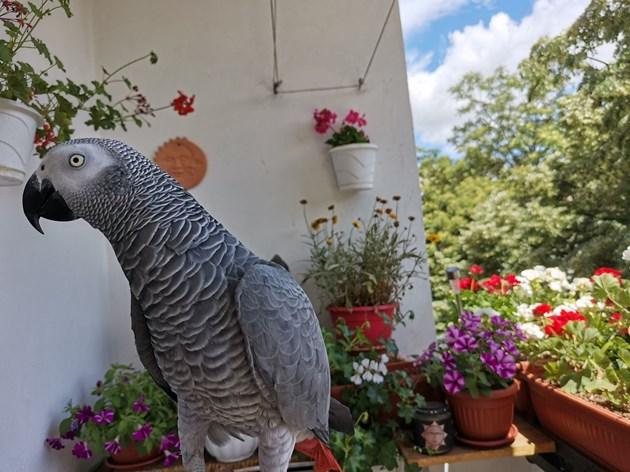 Папагалът Джаро пее и имитира животни (ВИДЕО)