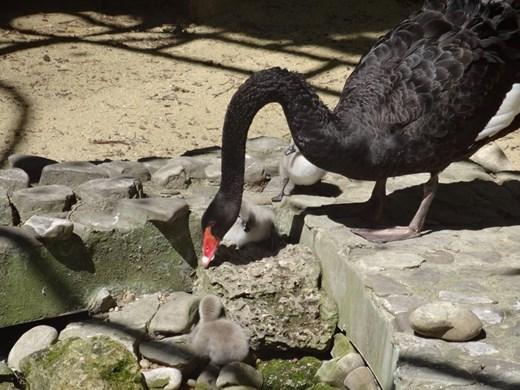 Възстановява се колекцията от черни лебеди, след кражба преди 9 години във варненския зоопарк (Снимки)